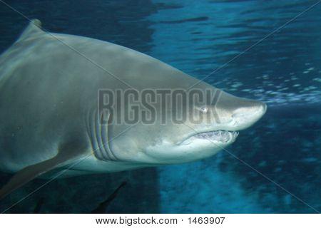 Big Fat Shark