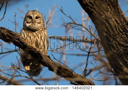 Barred owl in the early morning waiting nature photo.