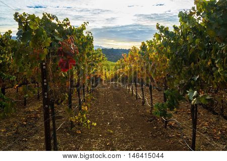Autumn colors of a Sonoma California vineyard row at harvest. Vibrant, colorful grapevines in fall in Sonoma Valley. Looking down a hill. Cloud cover at sunset.