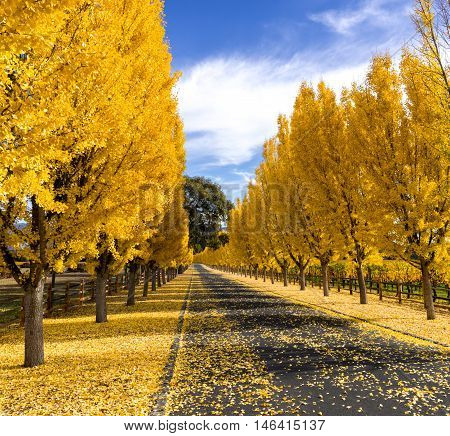 Yellow gingko trees line winery road in Napa in autumn. Treelined street in fall. Yellow gingko leaves cover the road to Far Niente winery. White clouds with blue sky, long shadows across the road.