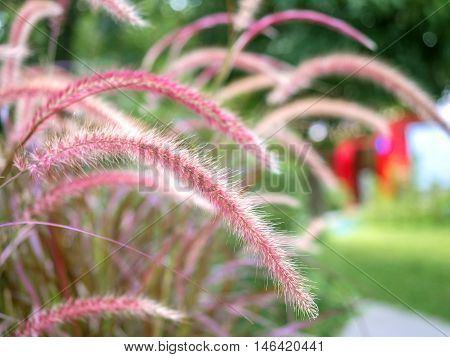 Beautiful purple and white Fountain Grasses field (or Pennisetum Advena Rubrum, Feather grasses, Mission Grasses, Pennisetum Pedicellatum) with nature blurred background.