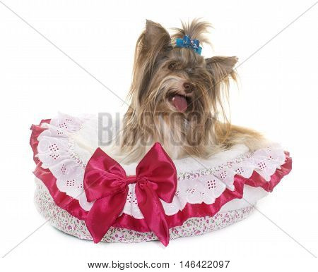 biro yorkshire terrier in front of white background