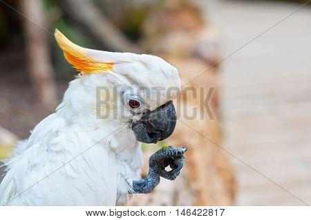 Portrait Of Kakadu Eating A Fruit