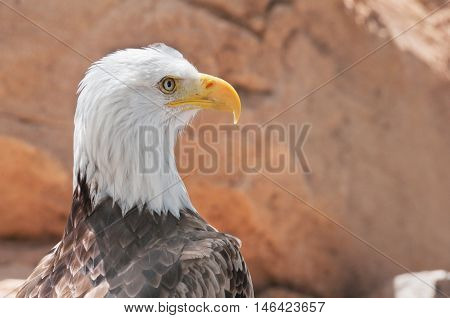 Portrait Of A Bald Eagle