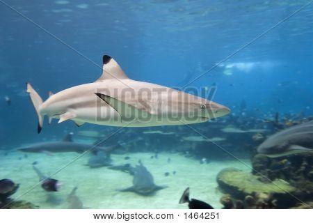 Sharktip