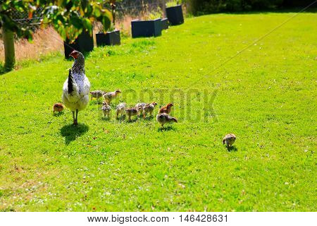 Dunedin, New Zealand - Febr 10, 2015: Mother Hen With All Her Chickens On The Grass Outside.