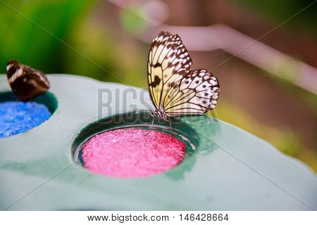 Dunedin, New Zealand - Febr 10, 2015: Butterflies Eating From A Plate With Pink And Blue Plastic Scr