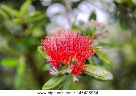Pohutukawa Flower, Dunedin, South Island, New Zealand