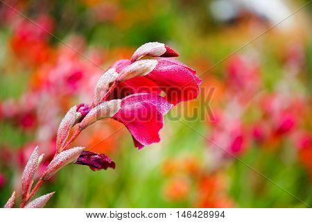 Dunedin, New Zealand - Febr 10, 2015: Gladiolus Flower In The Garden
