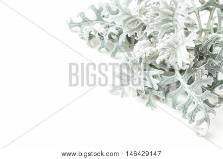 Dusty Miller plant isolated on white background