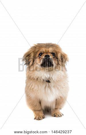 Pekingese looking small dog on white background