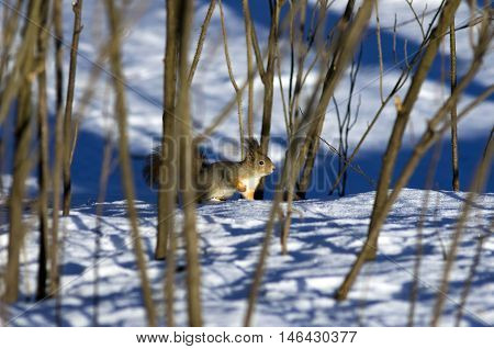However the winter has come...The squirrel gradually gets used to the snow which has surrounded her