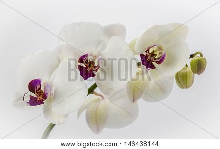 Close up view of a white orchid on a plain background,