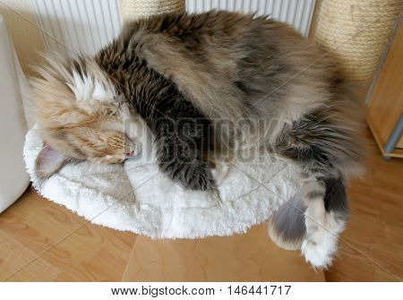 Extremely large blue tortie tabby with white Maine Coon female sleeping on her cat tree with her long bushy tail hanging down.