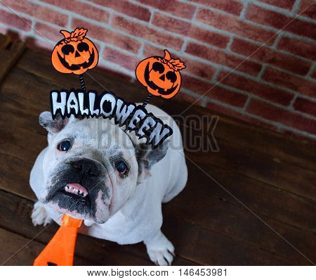 Portrait of french bulldog with diadem and tie halloween. View from above