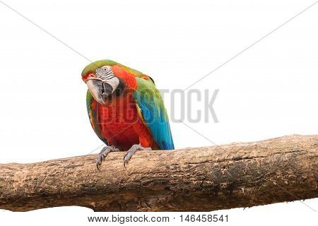 Colorful Macaw Aviary On White Isolated Background