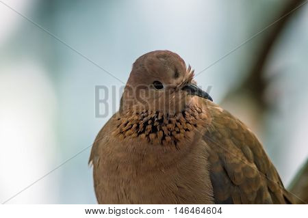 Portrait of a Dove With Blurry Background