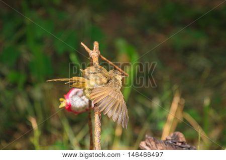 Streak-eared Bulbul (pycnonotus Blanfordi) In Nature