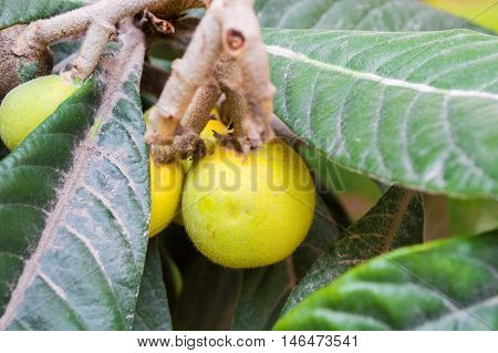 Close Up of a Fresh Loquat on a Branch