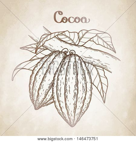 Graphic cocoa fruits on the branch isolated aged paper. Hand drawn exotic cacao plant in brawn colors