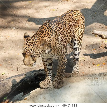 Animal and Wildlife Young Jaguar or Panthera Onca Standing Alone in A Safari.