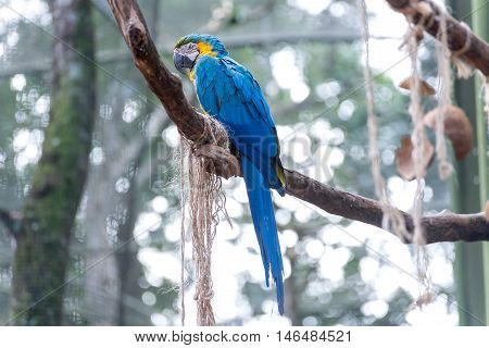 The Blue And Yellow Macaw In Brazil