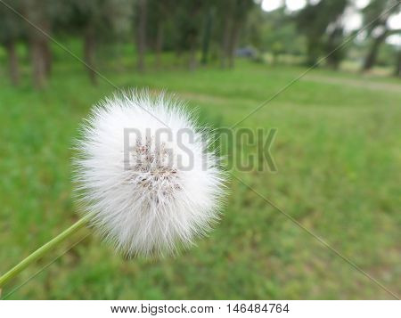 A lonely Dandelion on the Green Grassfield