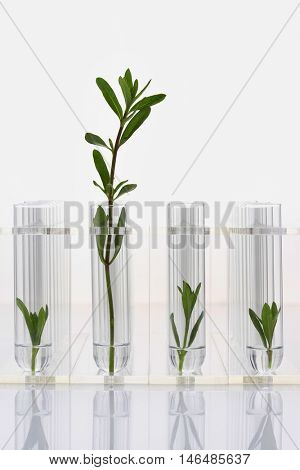 Large plant with three small plants in test tubes