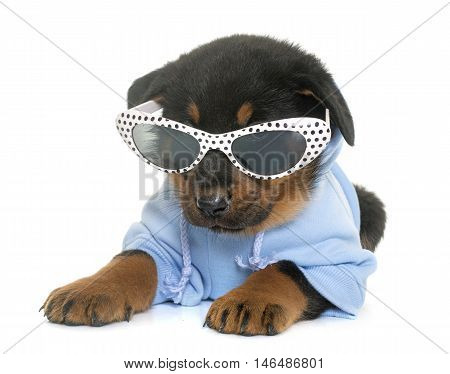 dressed beauceron puppy in front of white background