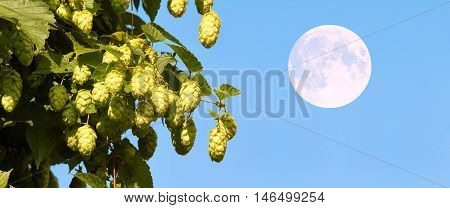 The umbels of hops are raw material for the manufacture of beer.