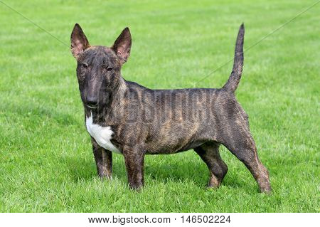 Typical Miniature Bull Terrier in the spring garden