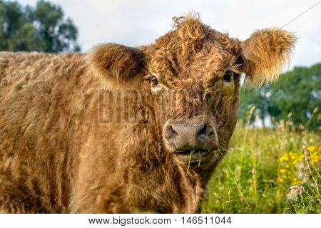 Portrait of a benign and caressable young brown Galloway bull with a curly fur curiously looking at the photographer in a Dutch nature reserve.