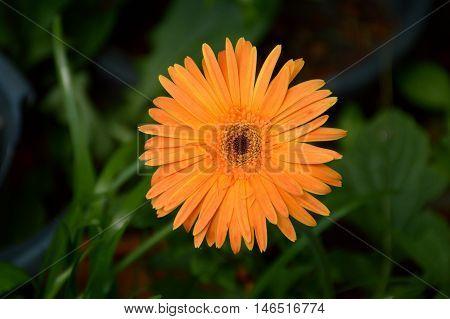 close up Gerbera flower in nature garden