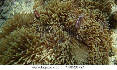 Clown Fish Portait
