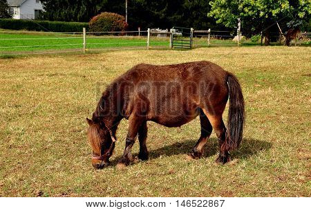 Lancaster County Pennsylvania - October 13 2015: Miniature brown horse grazing in a pasture on an Amish farm