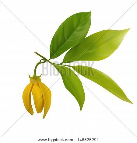 Ylang-ylang Flower With Leaf Isolated