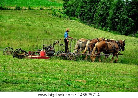 Lancaster County Pennsylvania - June 6 2015: Amish farmer riding a tiller pulled by a team of four donkeys as he works a field on the family farm