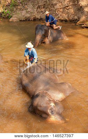 Chian Mai Thailand - March 07 2011 - Thai man bathing his elephant in a river near Maesa elephant camp