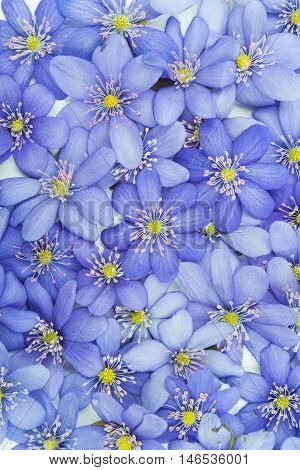 spring flowers Hepatica nobilis on a white background