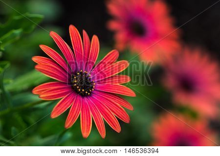 Aster flower in front of the garden.
