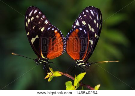 Tropical butterflies dido longwing on the leaf. Macro photography of wildlife.
