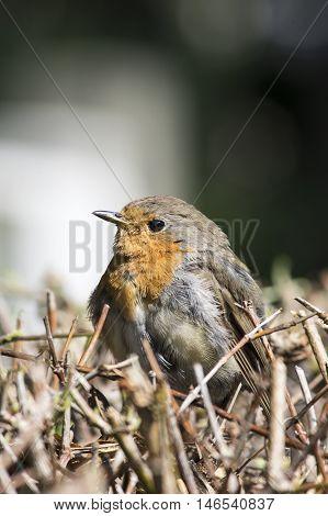 Robin readbreast sitting on a hedge in fall