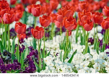 Red Tulips among White and Dark Blue Pansies