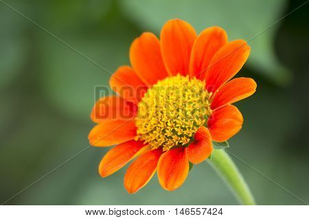 Mexican sunflower(orange color flower) on day time
