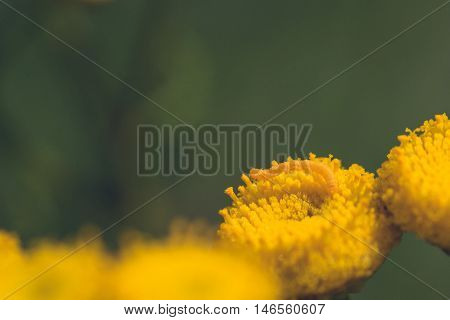 Macro of a tiny inch worm on a yellow tansy flower.