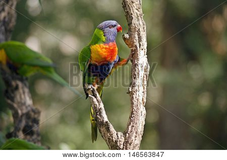 this is a close of a rainbow lorikeet