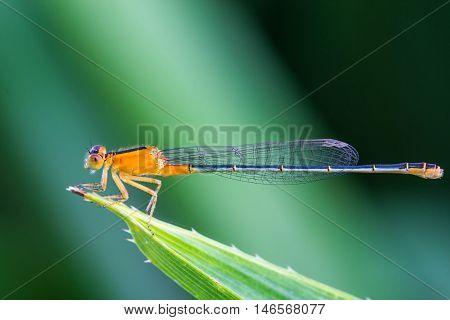 a orange damsel Flies on green leaf