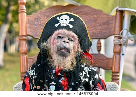 Little monkey, dressed in pirate costume sits on chair