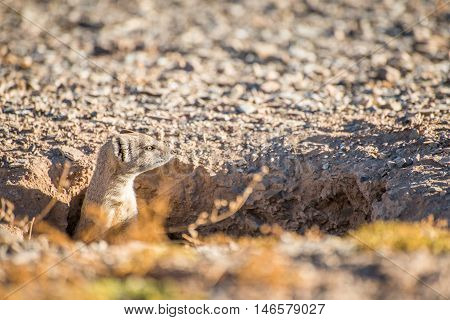 Mongoose In Hole
