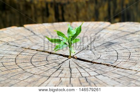 strong seedling growing in the center trunk from a dead tree stump. business concept of emerging leadership success generating new business.